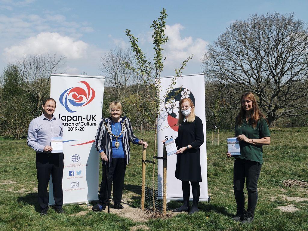 Japanese Sakura Cherry Trees presented   to Mote Park Maidstone   image